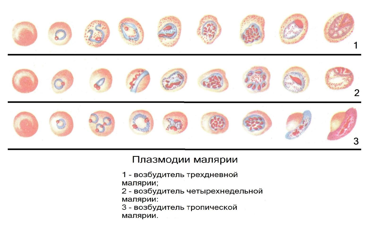 Плазмодии малярии