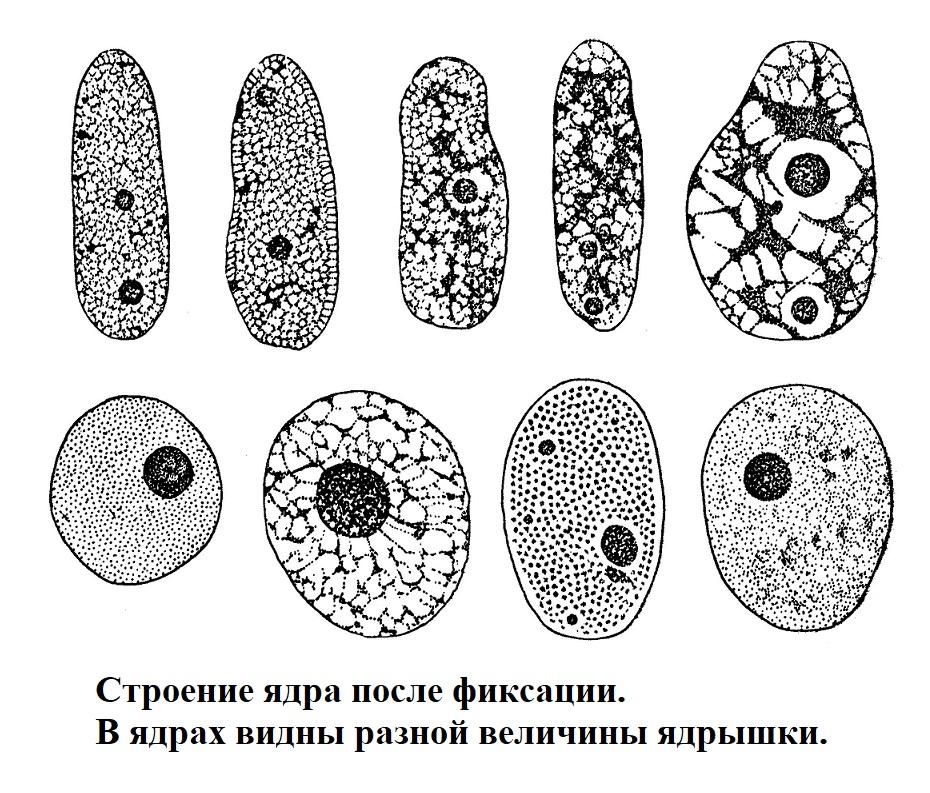Строение ядра после фиксации. В ядрах видны разной величины ядрышки.