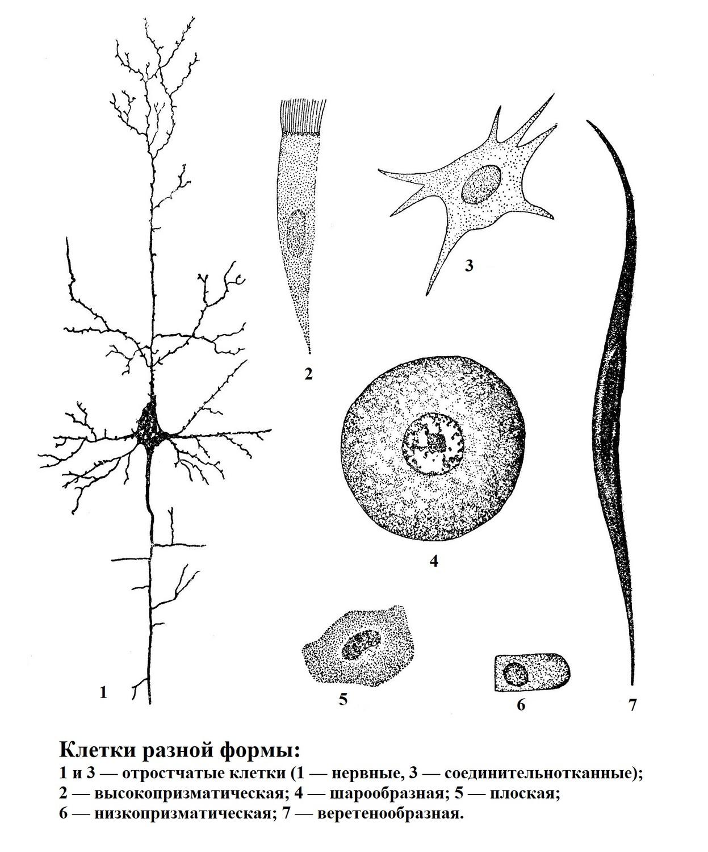 Клетки разной формы