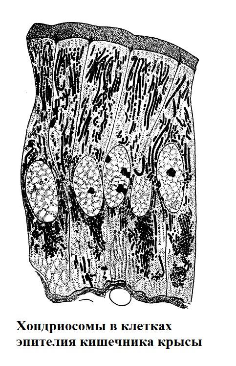 Хондриосомы в клетках эпителия кишечника крысы