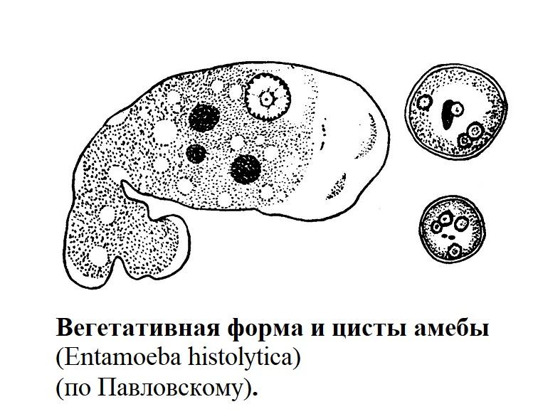 Вегетативная форма и цисты амебы (Entamoeba histolytica) (по Павловскому).