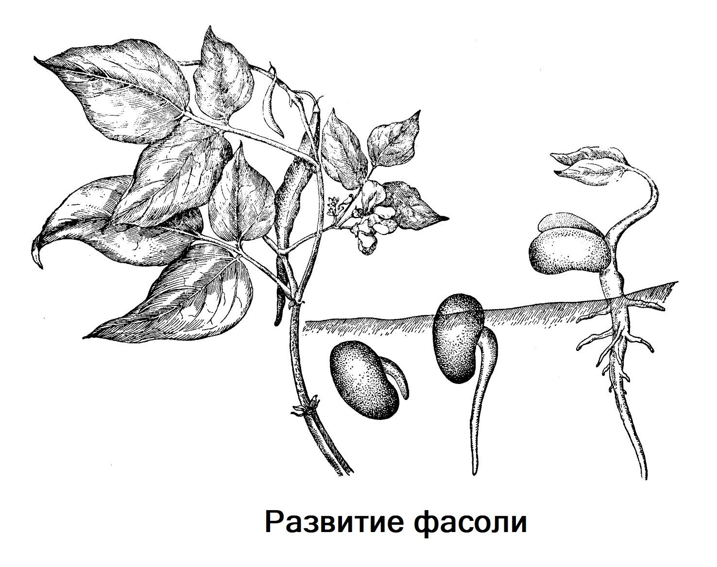 Развитие фасоли