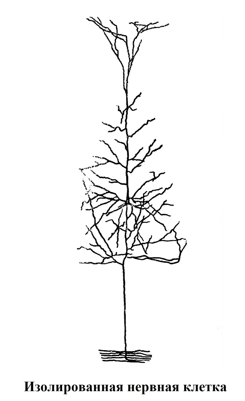Изолированная нервная клетка