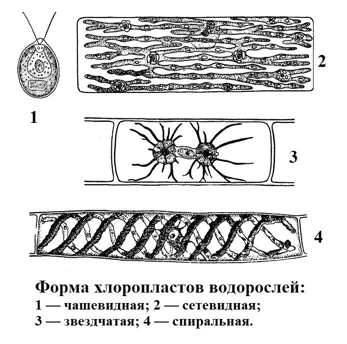 Форма хлоропластов водорослей