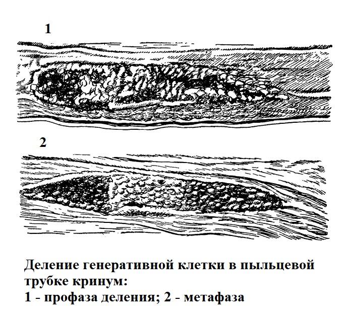 Деление генеративной клетки в пыльцевой трубке кринум