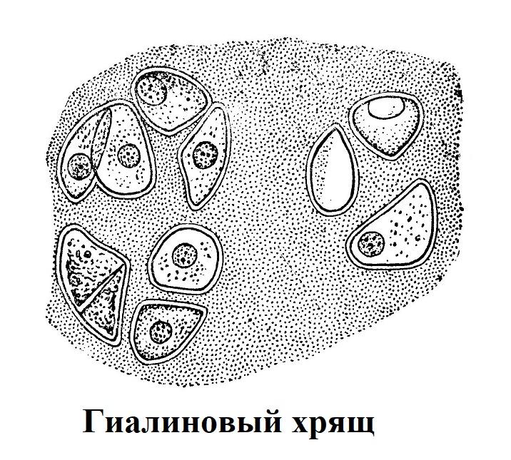 округлые хрящевые клетки