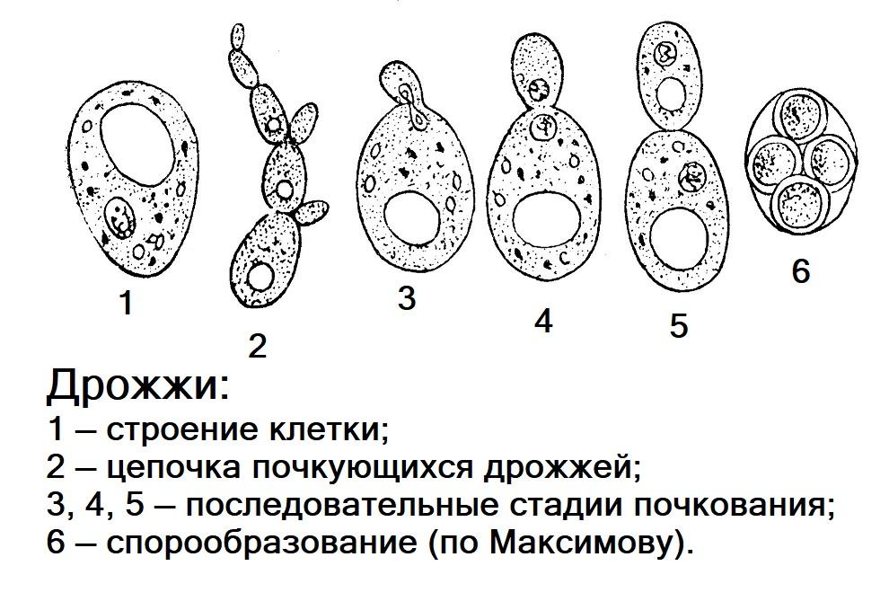 Дрожжевые грибки