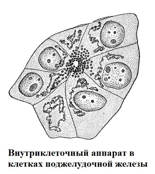Внутриклеточный аппарат в клетках поджелудочной железы