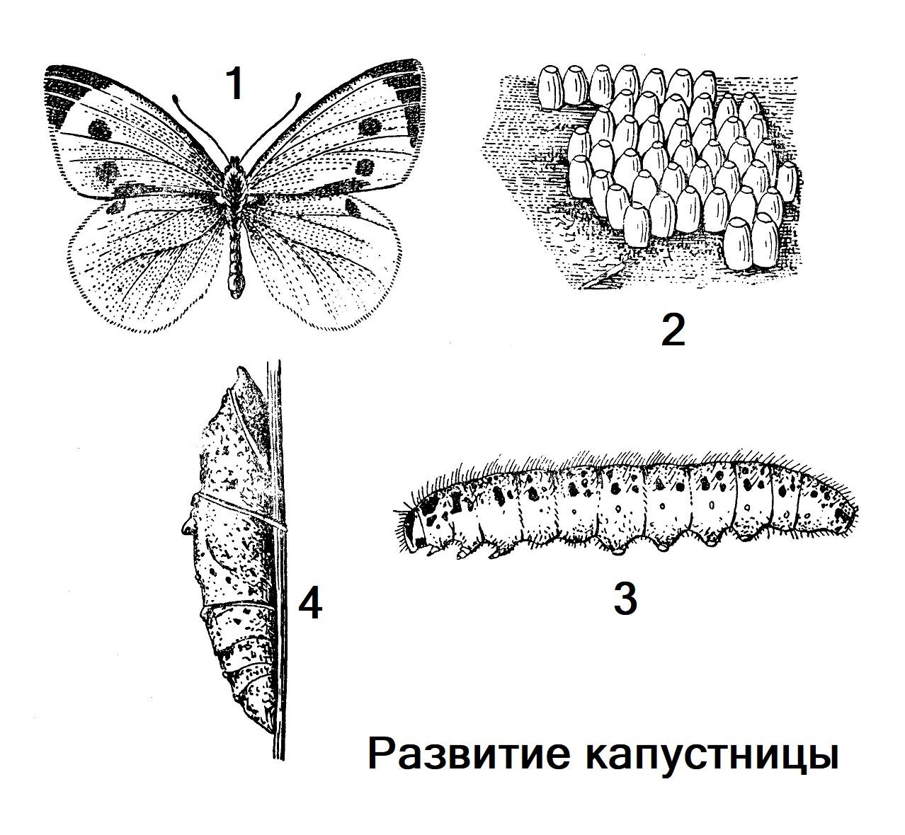 Развитие капустницы