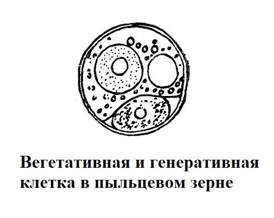 Вегетативная и генеративная клетка в пыльцевом зерне