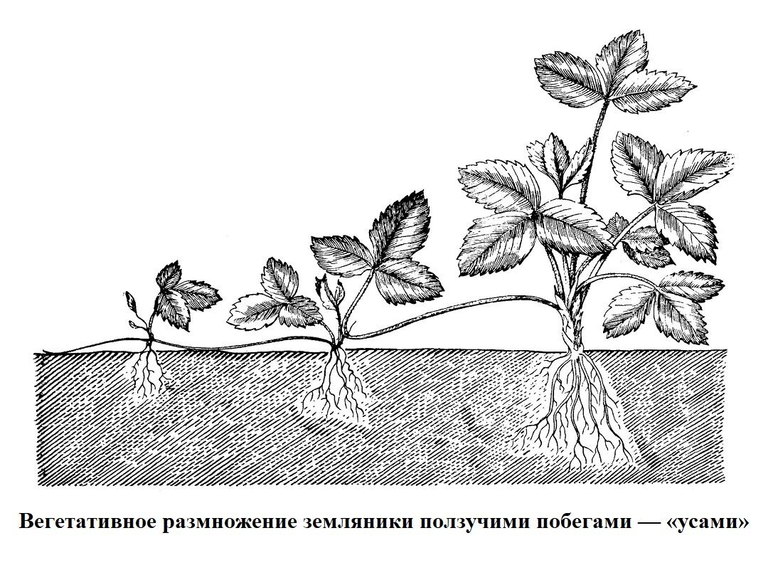 Вегетативное размножение земляники, при помощи ползучих побегов - усов