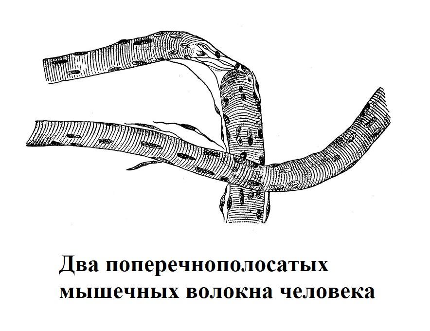 поперечнополосатая мускулатура
