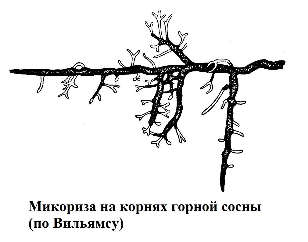Микориза на корнях горной сосны (по Вильямсу)