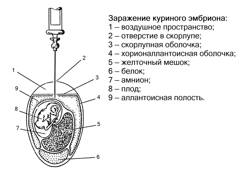 Заражение куриного эмбриона