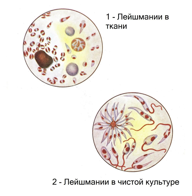 Сложные методы окраски в микроскопии