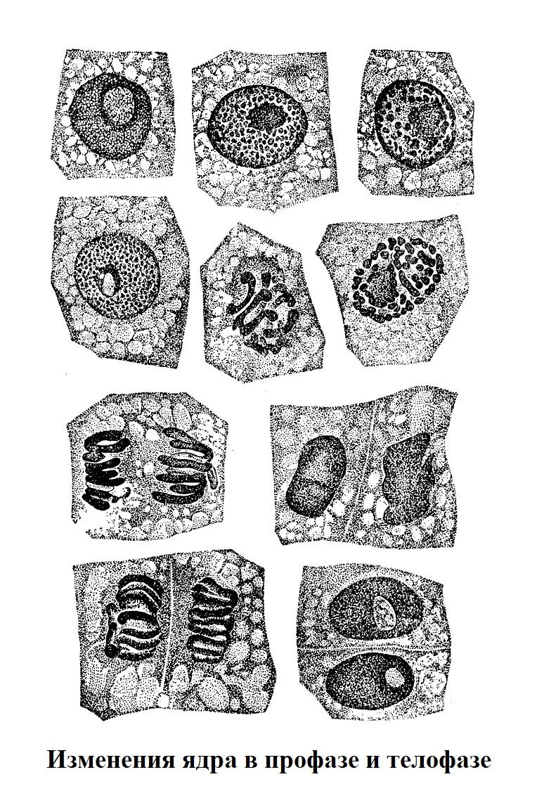 Изменения ядра в профазе и телофазе