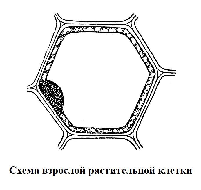 Схема взрослой растительной клетки