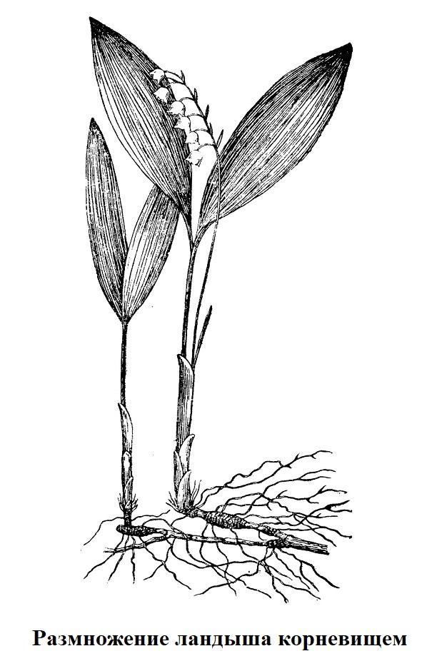 Размножение ландыша корневищем