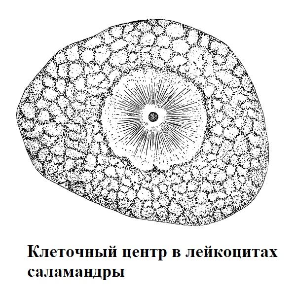 Клеточный центр в лейкоцитах саламандры