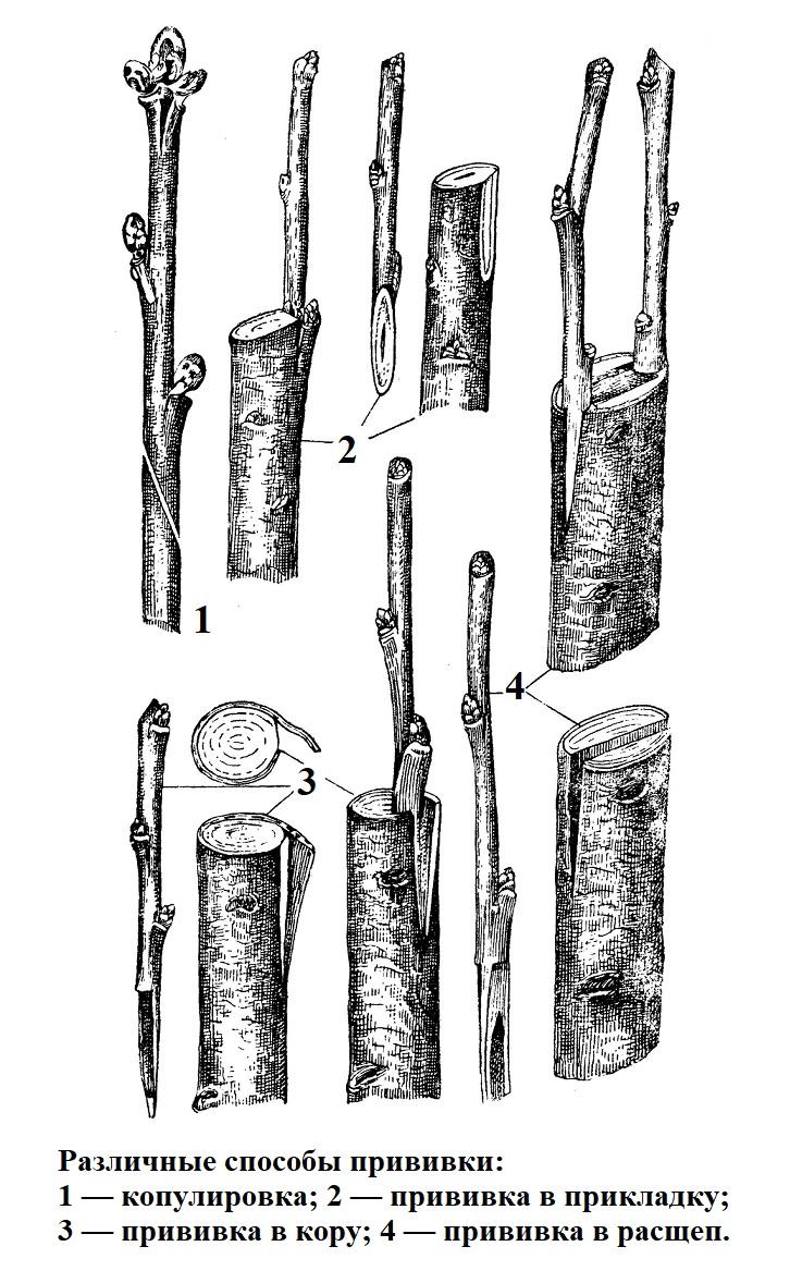 Различные способы прививки деревьев
