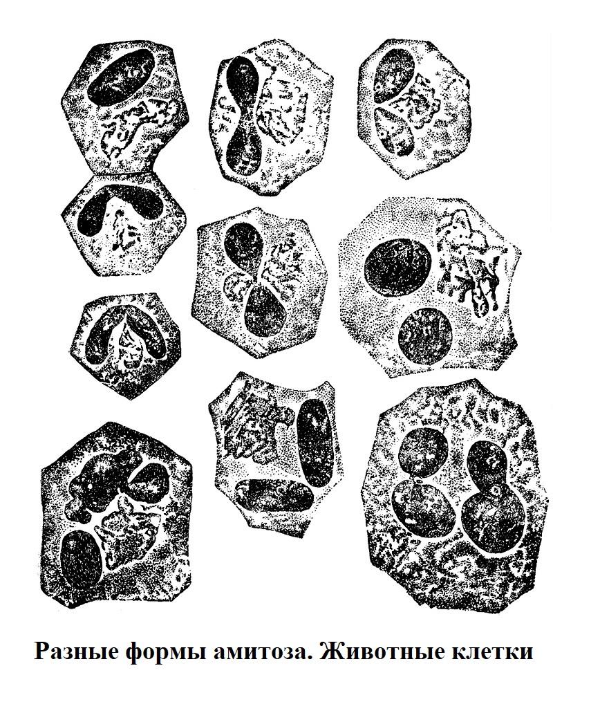 Разные формы амитоза. Животные клетки