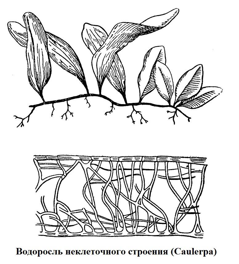 Водоросль неклеточного строения Caulerpa