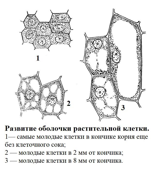 Развитие оболочки растительной клетки