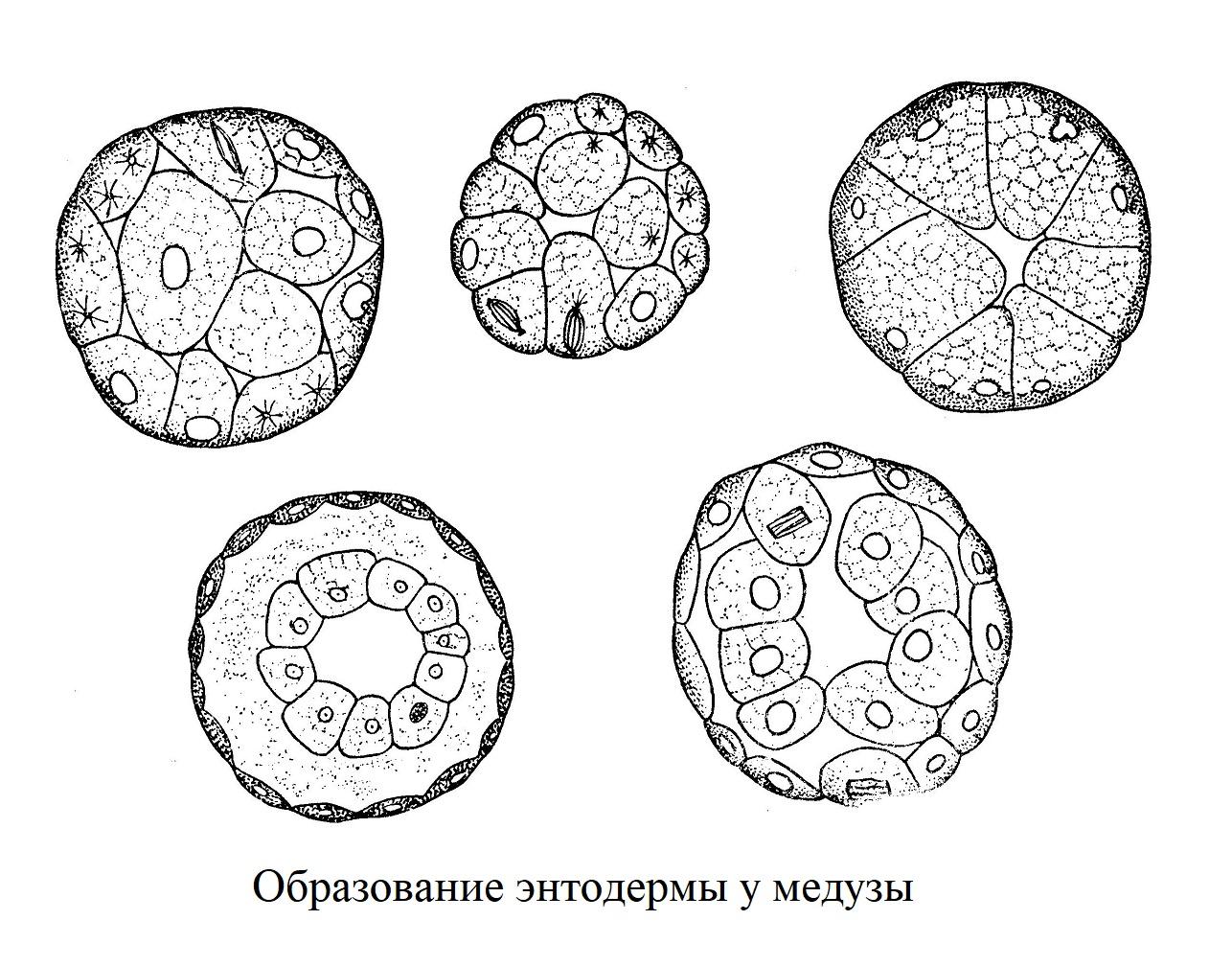 Образование энтодермы у медузы