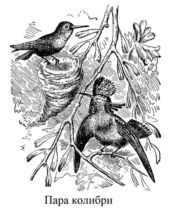 Пара колибри