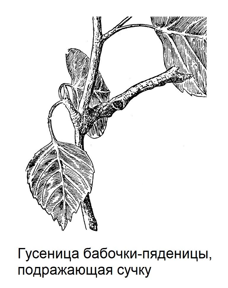 Гусеница бабочки-пяденицы, подражающая сучку