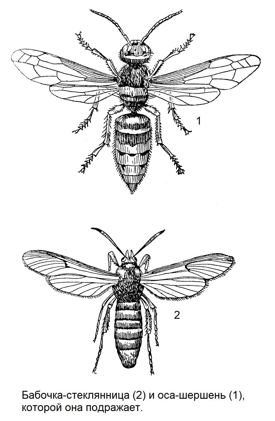 Бабочка-стеклянница (2) и оса-шершень (1), которой она подражает