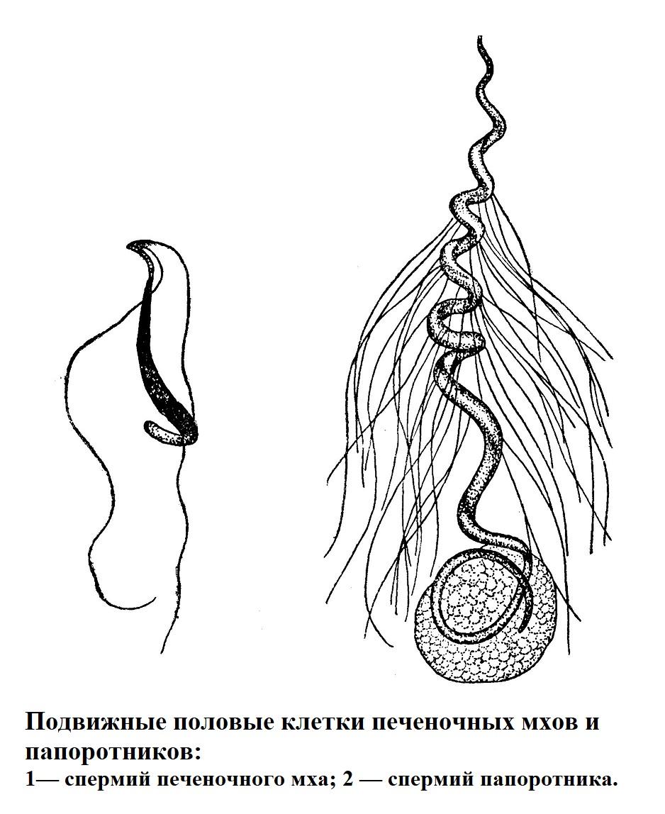 Подвижные половые клетки печеночных мхов и папоротников
