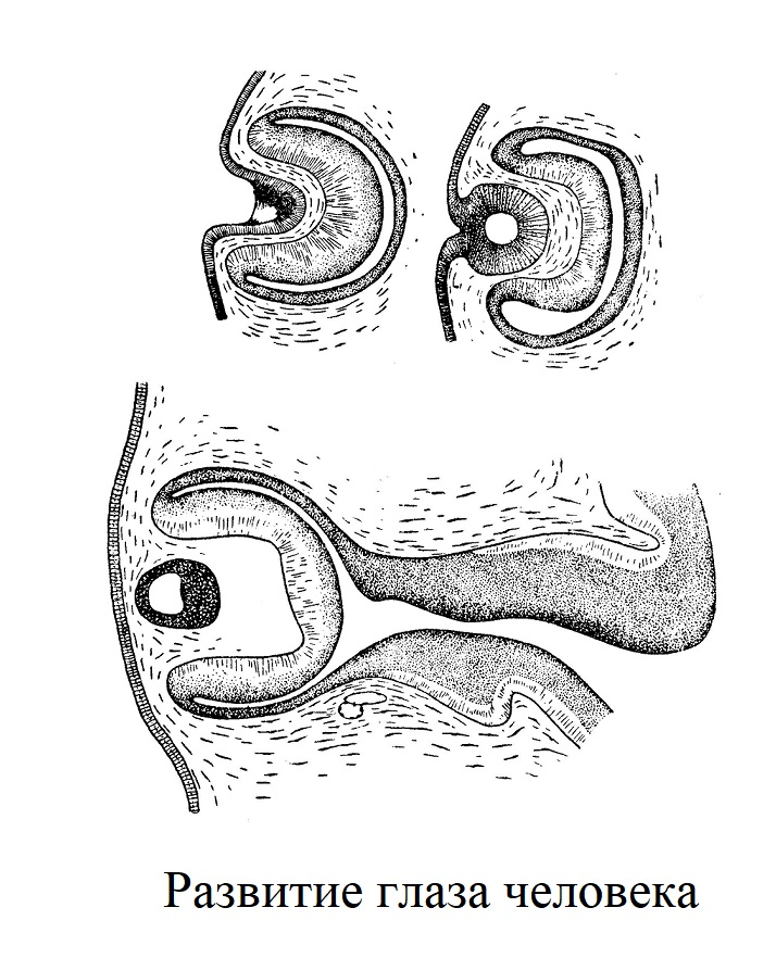 Формирование глаза человека