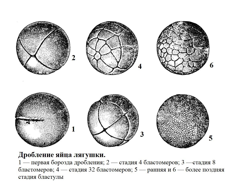 Дробление яйца лягушки