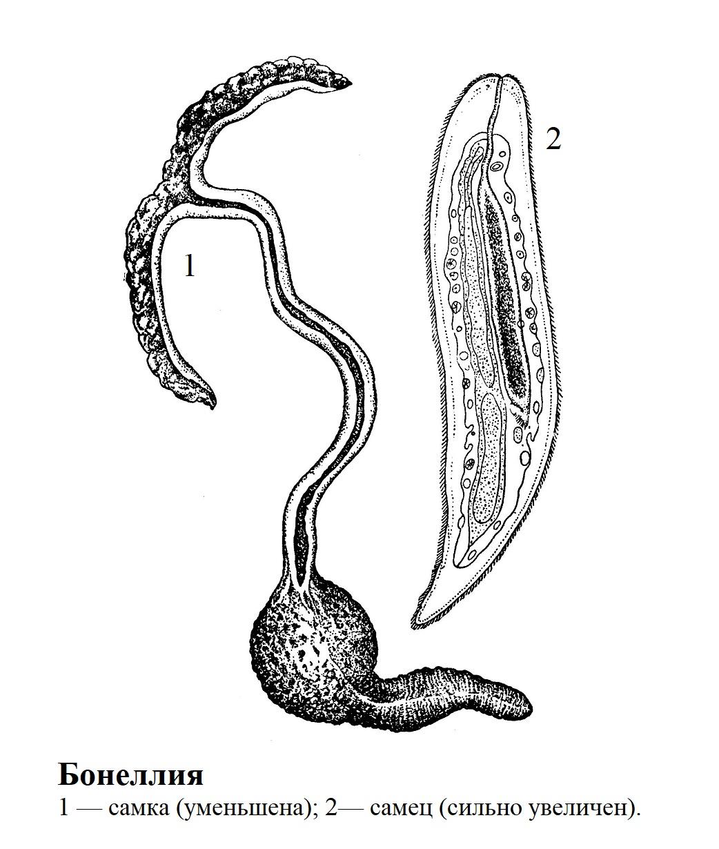 раздельнополый червь — бонеллия
