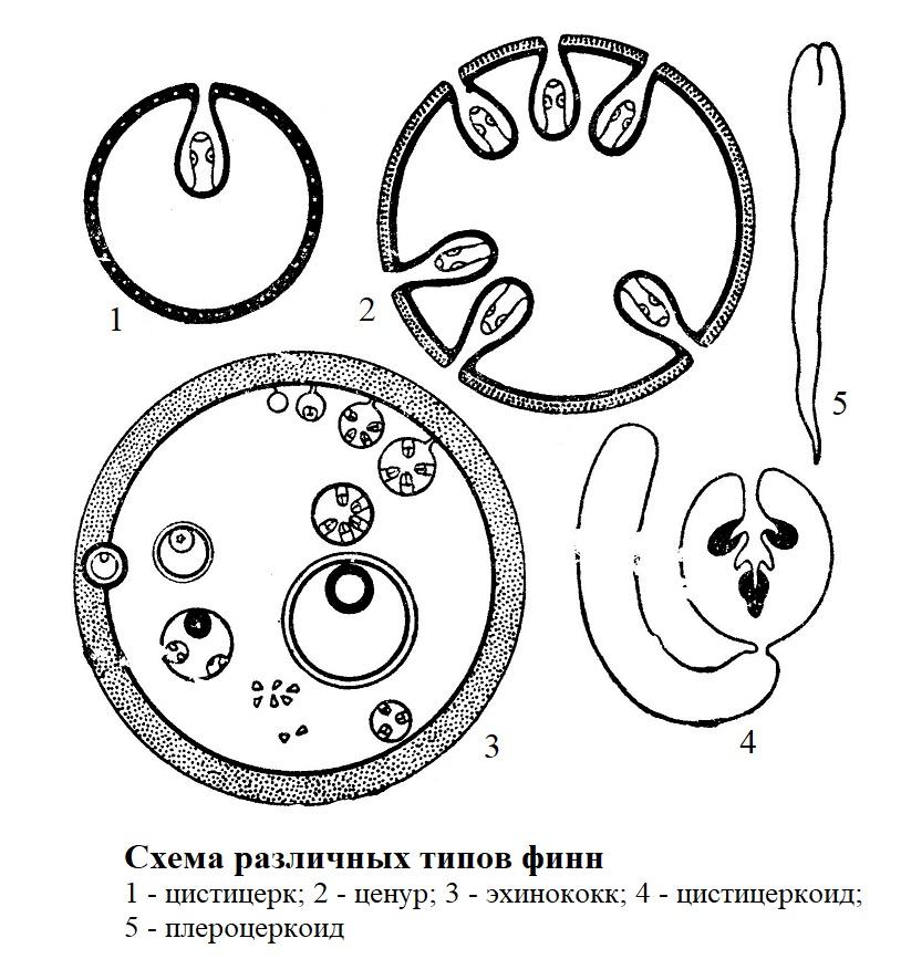 Схема различных типов финн