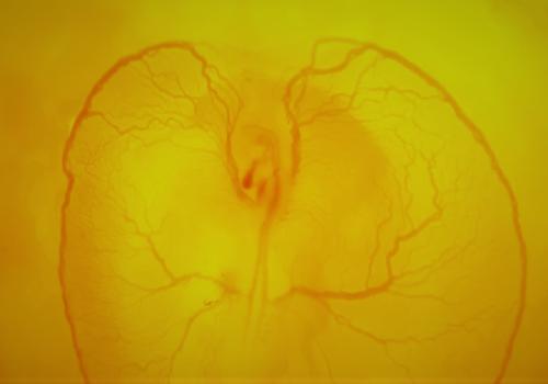 Цитотипический и органотипический период развития зародыша