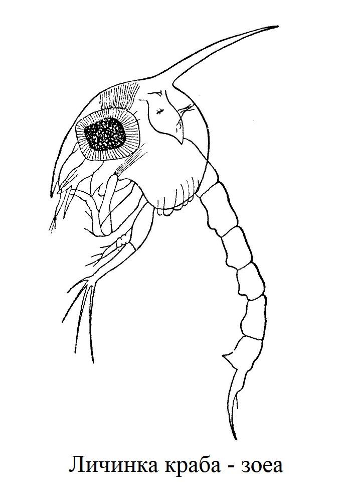 Личинка краба - зоеа