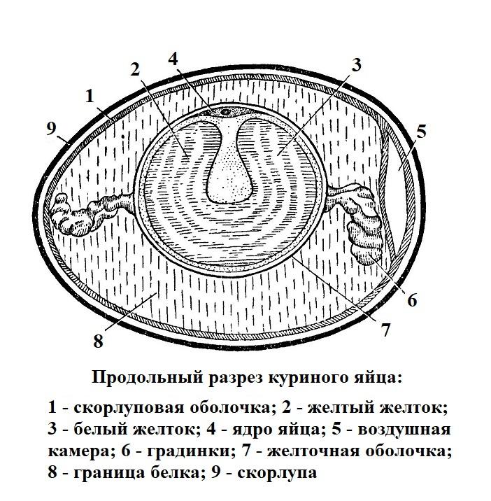 Продольный разрез куриного яйца
