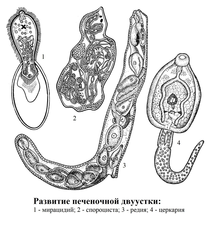 Развитие печеночной двуустки
