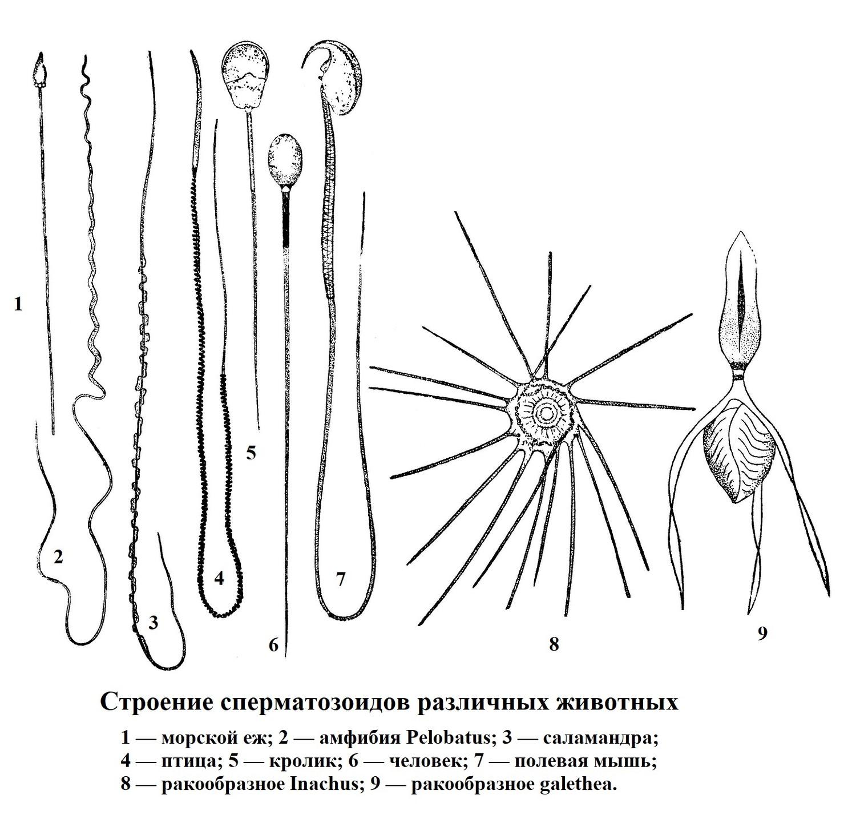 Строение сперматозоидов различных животных