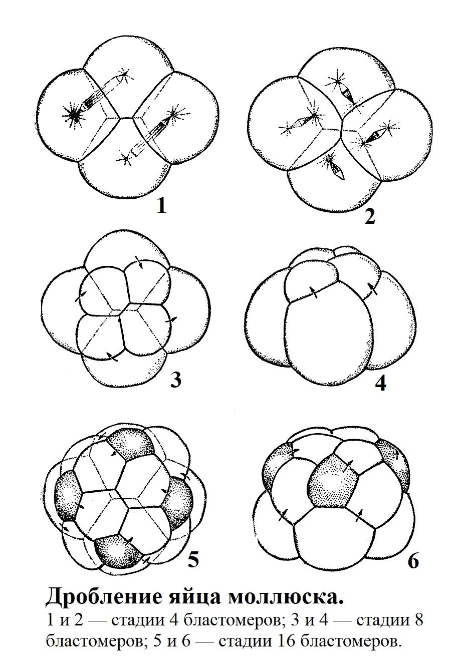 Дробление яйца моллюска