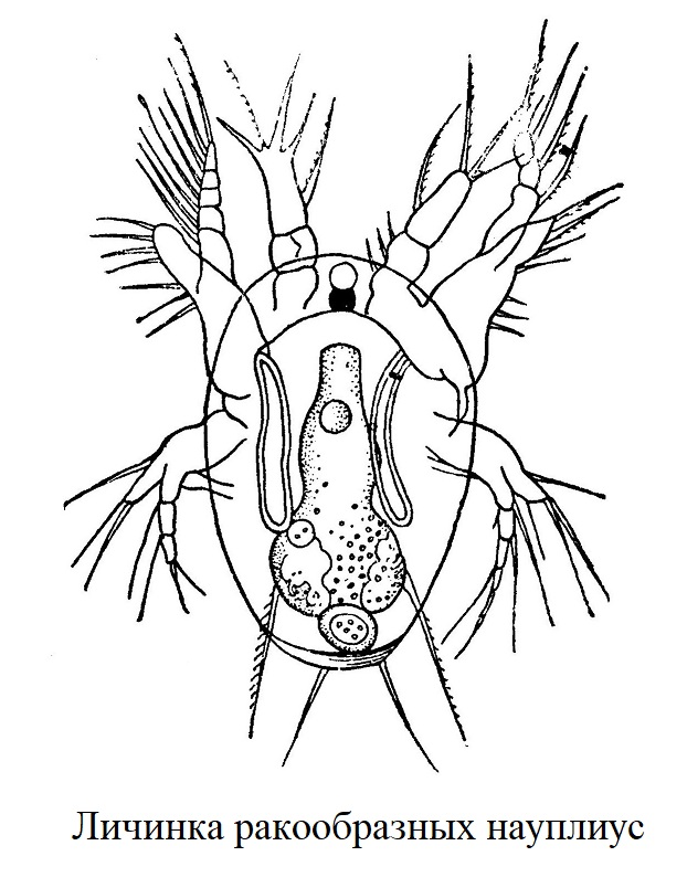 Личинка ракообразных науплиус