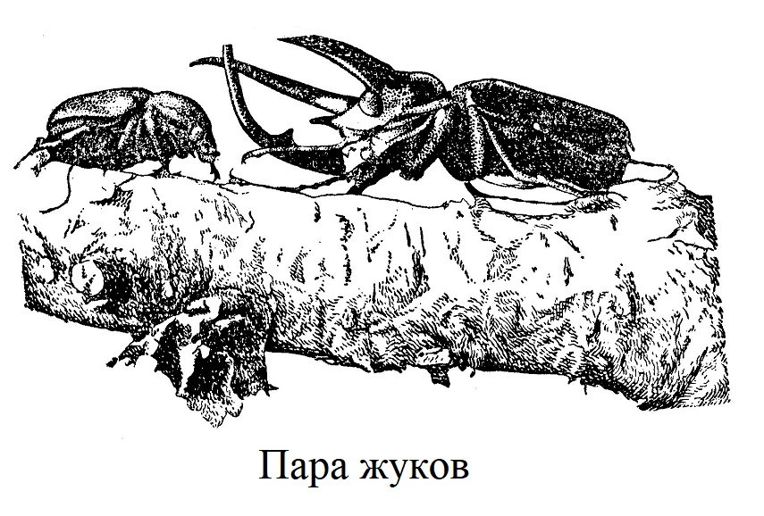 Пара жуков