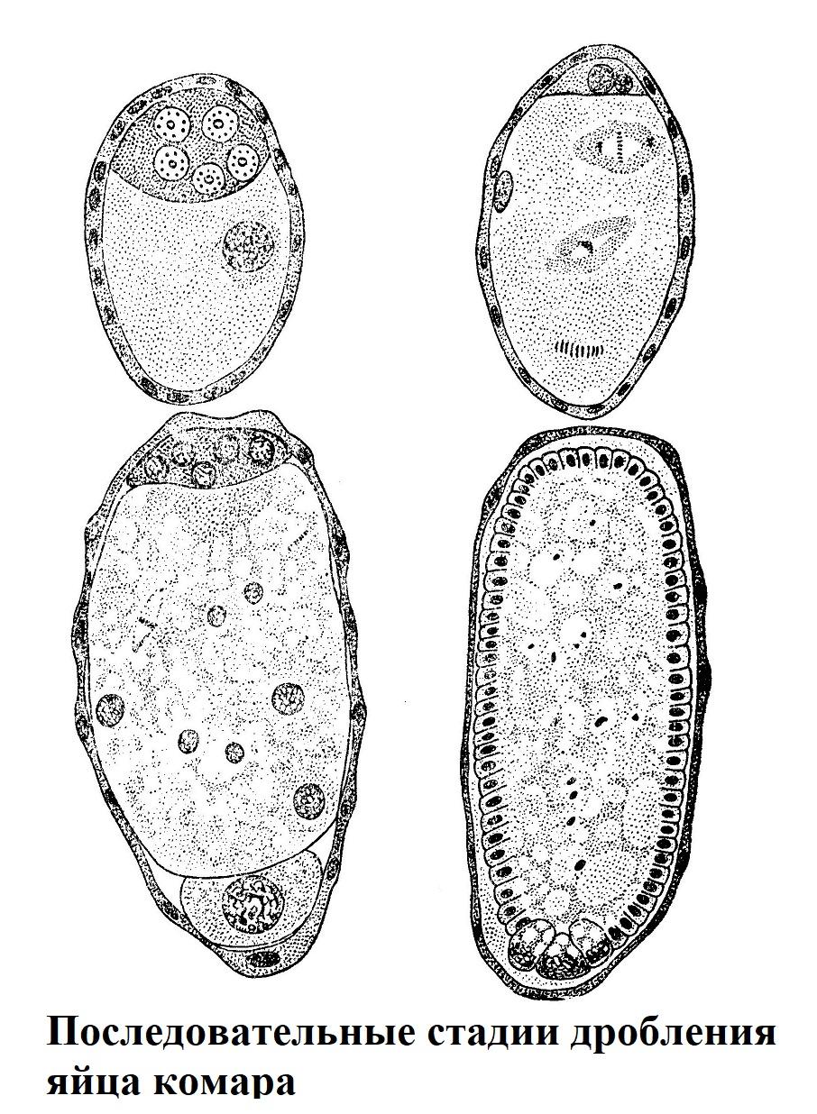 Последовательные стадии дробления яйца комара