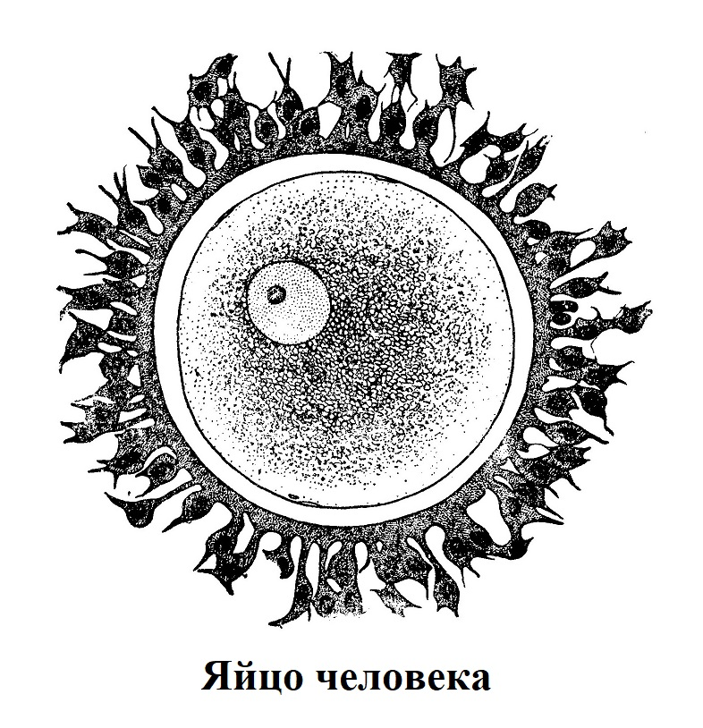 Яйцо человека