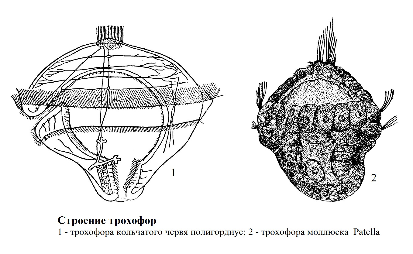 Строение трохофор