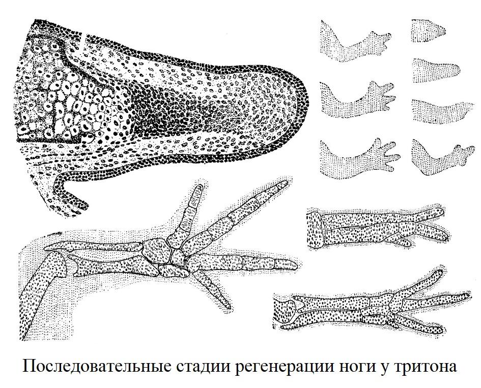 Последовательные стадии регенерации ноги у тритона