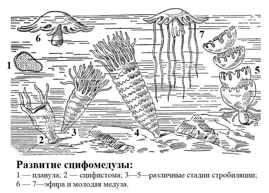 Развитие сцифомедузы