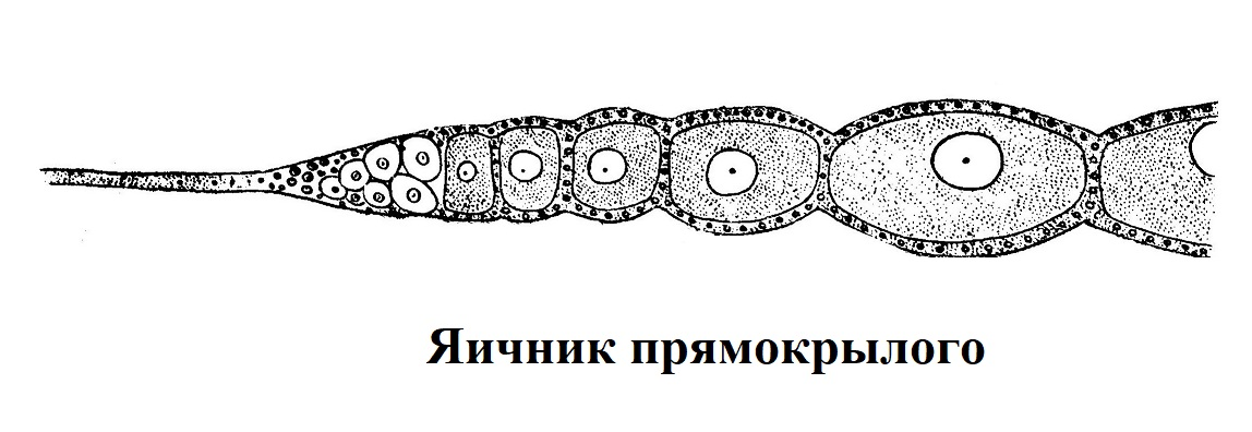 Яичник прямокрылого